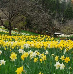 Family Owned Daffodil Hill Closes Indefinitely!